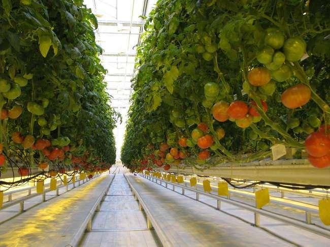 В Ростовской области запустили тепличный комплекс стоимостью 1,8 млрд руб.