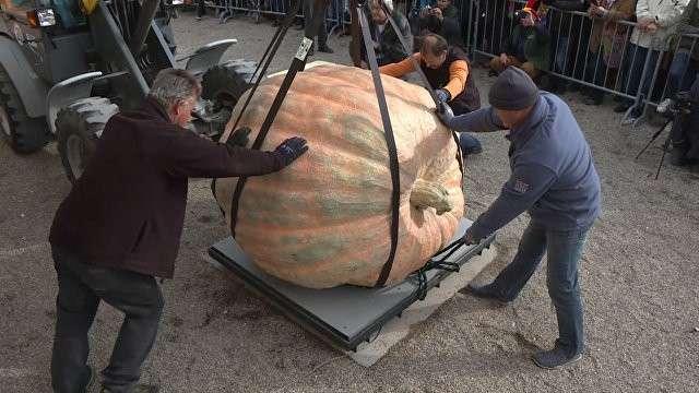 Самую тяжёлую тыкву в мире вырастили в Бельгии и взвесили в Германии