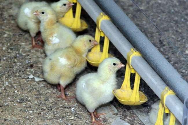 В селе Каменском Липецкой области открыт птицеводческий комплекс на 1,7 млн. голов цыплят-бройлеров