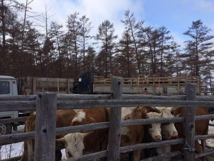 50. В якутский СХПК «Мындагай» завезены коровы из Хакассии Сделано у нас, политика, факты