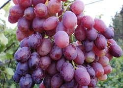 В Астраханской области приступили к созданию виноградных плантаций и садов черешни