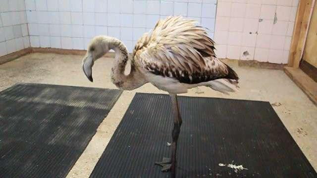 Приключения фламинго Васи в Сибири: как спасённую птицу встретили в зоопарке