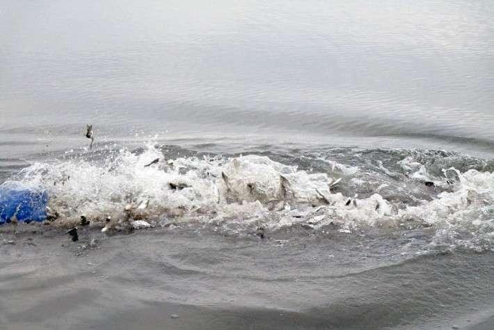В реку Воронеж в Липецке выпустили 1,5 млн. экземпляров молоди растительноядных рыб