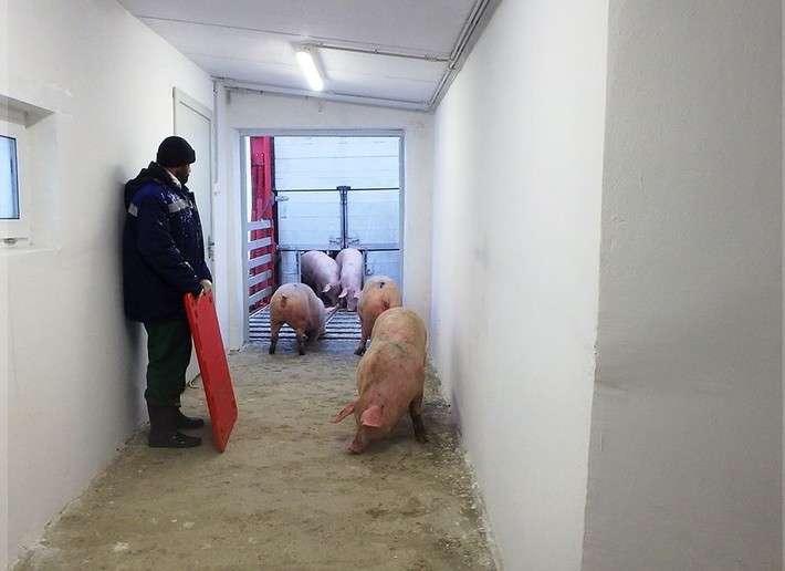 21. «Борисовский СК» первым из пяти новых свинокомплексов запускает производственный процесс Сделано у нас, политика, факты