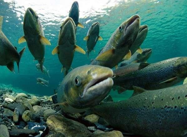 42. В Республике Кабардино-Балкария в реки выпущено несколько десятков тысяч молоди каспийского лосося Сделано у нас, политика, факты