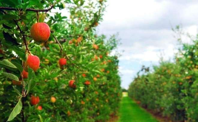 13. В Новокубанском районе разбили яблоневый сад площадью более 80 га. Сделано у нас, политика, факты
