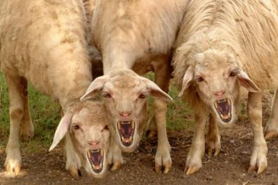 «Народные бараны Украины» и прочие «жывотные»: в «скотном дворе» обострилась борьба за власть