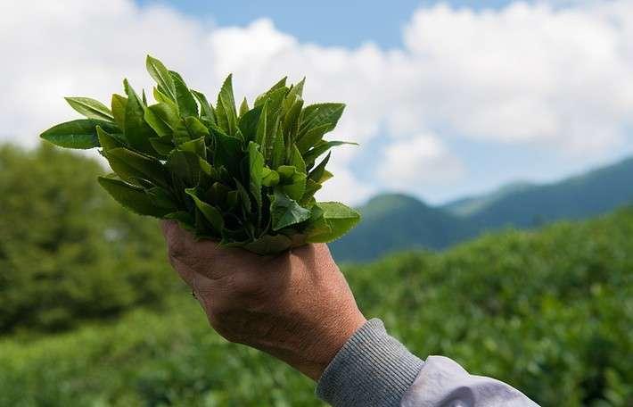 19. Самый северный чай в мире Сделано у нас, политика, факты