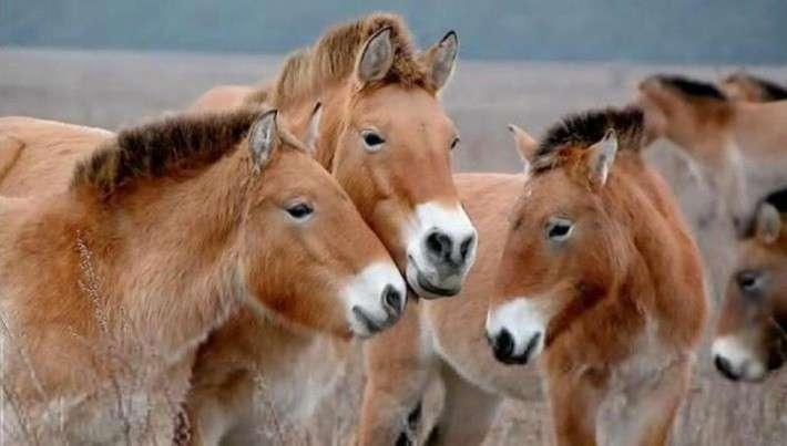 33. Восстанавление популяции лошадей Пржевальского в Оренбургском заповеднике Сделано у нас, политика, факты
