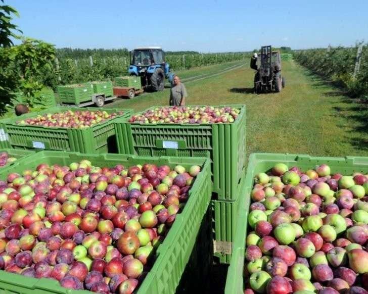 7. «Сад Гигант-Ингушетия» в 2016 г увеличил урожай яблок почти в 4 раза Сделано у нас, политика, факты