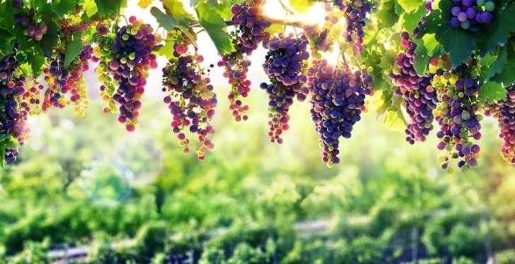 26. Российское вино станет новым экспортным продуктом Сделано у нас, политика, факты