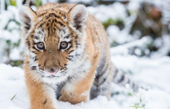 Полугодовалого тигрёнка обнаружили на окраине села в Приморье