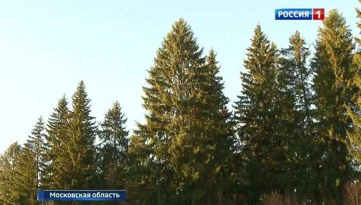 В Подмосковье в Истринском районе выбрали главную ель страны