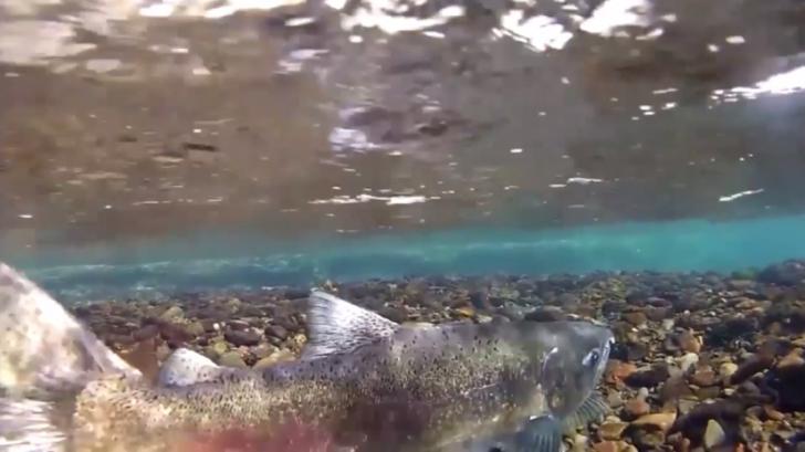 Радиоактивный лосось из Фукусимы обнаружен в Канаде
