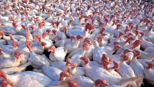 Ростовский производитель мяса птицы вернется на рынок через 4 месяца
