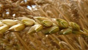 В России двигателем сельского хозяйства в 2016 стало зерно