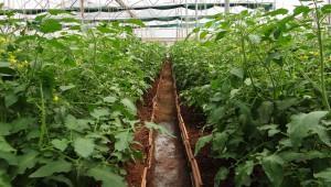 Более 40 гектаров теплиц открыли в Дагестане в 2016