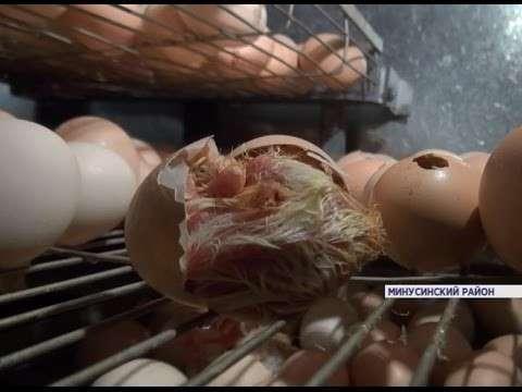 ВКрасноярском крае фермер разводит домашнюю птицу впромышленных масштабах