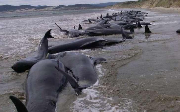 В Новой Зеландии на берег выбросились ещё более 200 дельфинов