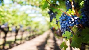 Реестр виноградников завели в России