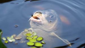 Производство прудовой рыбы хотят нарастить в Белгородской области
