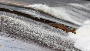 Новый завод по разведению лососевых открыли на Сахалине