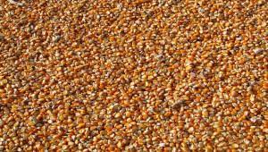 Краснодарские аграрии перешли на отечественные сорта зерновых
