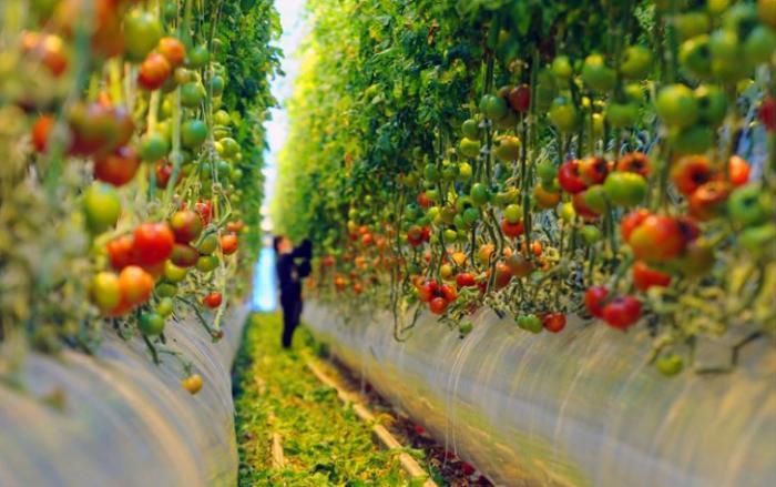 Почему работники теплиц не едят свои помидоры? Неприятная правда