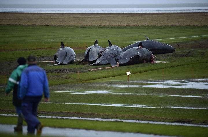 29 мёpтвых кашалотов найдено на берегу Германии, но самая страшная находка оказалась в их желудках