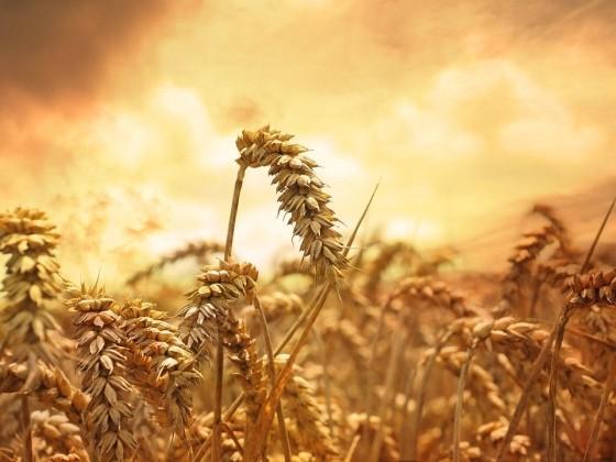 Турция запретила ввоз пшеницы и кукурузы из России