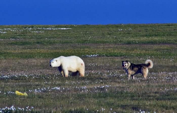Боцман против белых медведей. Дворняга установила свои законы в Арктике