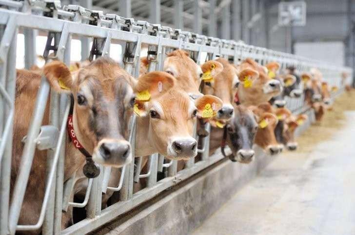 На молочных фермах в Воронеже с помощью роботов получают молоко от уникальных коров