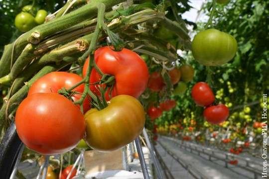 Россия: турецкие помидоры будут вытеснять строительством теплиц
