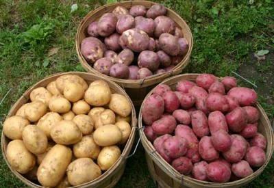 Огородникам на заметку. Сорта картофеля, для которых колорадский жук не страшен