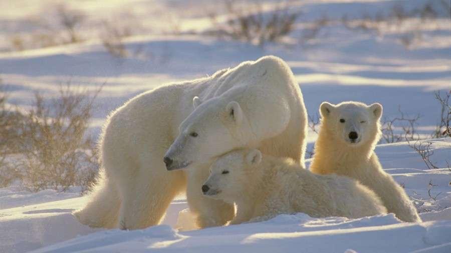 Полярные_медведи