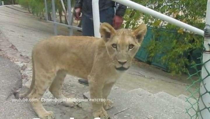 Саратов: на улице Энгельса школьника покусал лев. Подросток отделался лёгким укусом