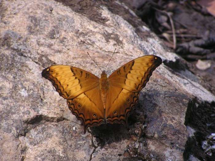Золотистая бабочка.