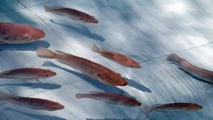 Саратовская область лидирует в Приволжье по производству рыбы