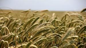 Только своя пшеница: как развивается импортозамещение на полях Ростовской области