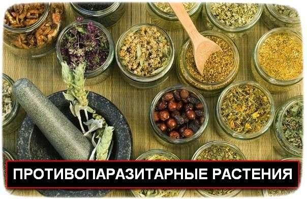 Травы против глистов и других паразитов в организме