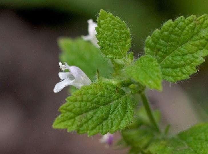 Растения, которыми можно эффективно отгонять комаров