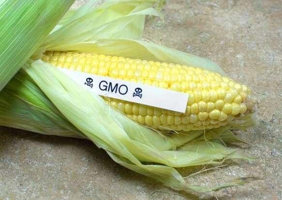 Китай возвратил США более 1000 тонн трансгенной кукурузы