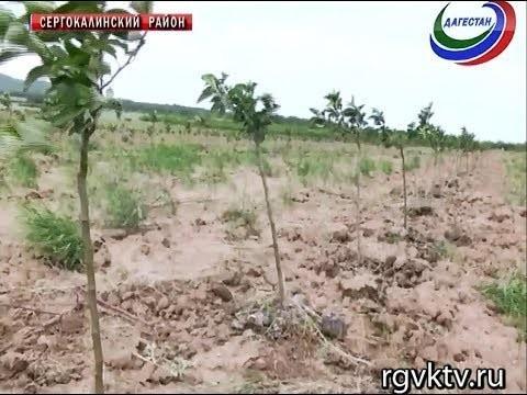В Дагестане заложен интенсивный сад площадью больше 100 га