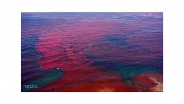 Калининград: русские биологи раскрыли тайну «кровавых приливов» на Балтике