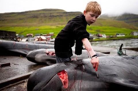 Гриндадрап, Фарерские острова: в дикой Европе убивают ради убийства