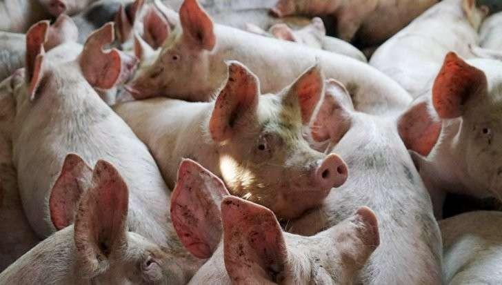 Ответ Рогозина: Россия ввела запрет на свинину из Румынии. Ловите, гады