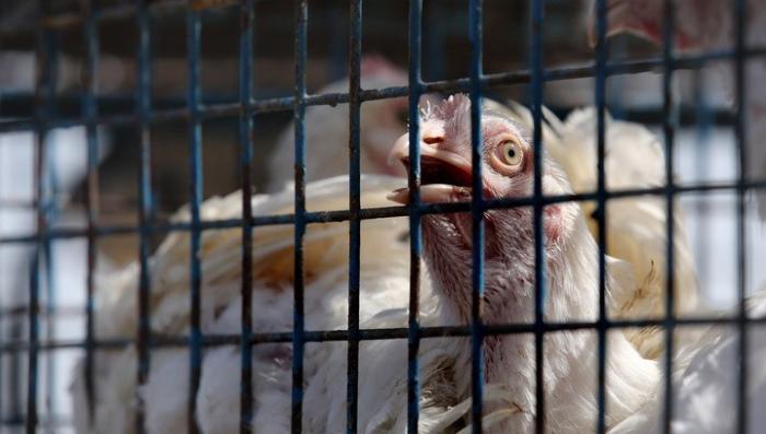 В Нидерландах и Бельгии из-за заражения начали массово истреблять кур