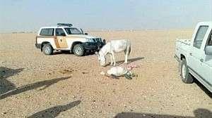 Вести от ближайшего союзника США и Израиля. Саудовский шейх умер... при попытке изнасиловать осла