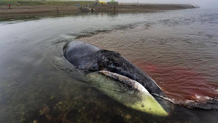 Группы смерти: синий кит вернулся в Охотское море живым!