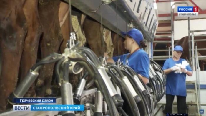В Ставропольском крае современная молочная ферма появилась наместе колхозных развалин